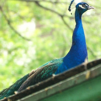 Escaped Peacock Remains at Large